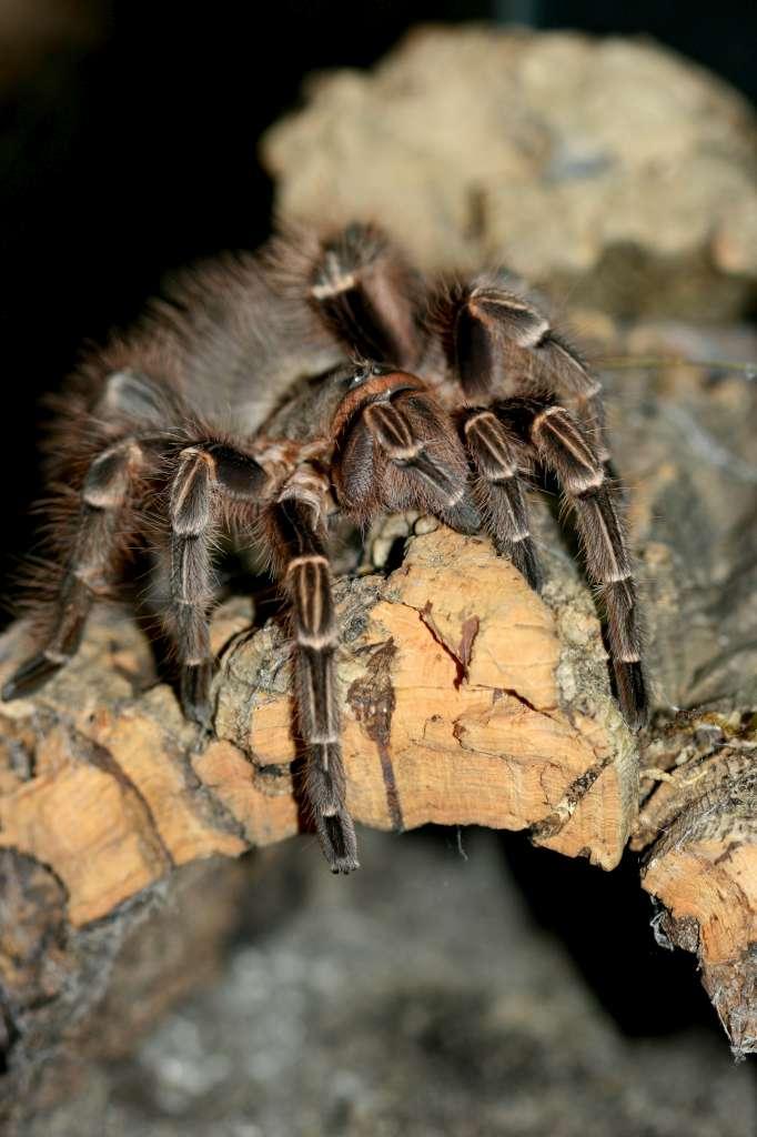 E.campestratus2