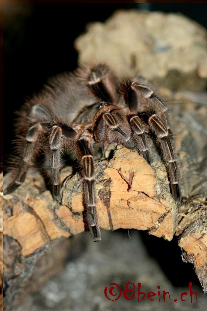 E. campestratus
